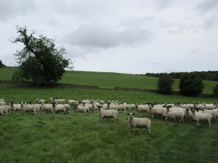 Sheep - Cotswolds, England