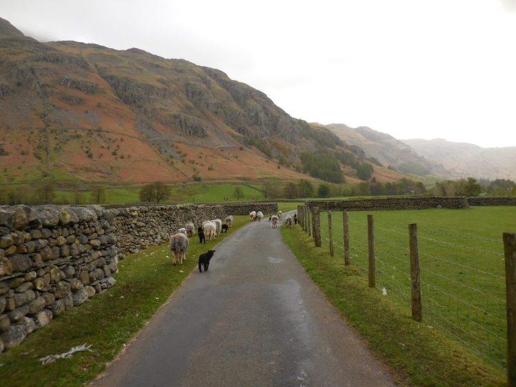 Sheep - Lake District, England