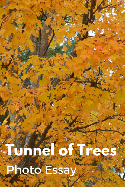 Tunnel of Trees Photo Essay